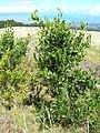 Starr 050818-4064 Acacia melanoxylon.jpg