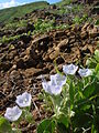Starr 060405-9067 Jacquemontia ovalifolia subsp. sandwicensis.jpg