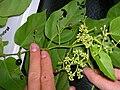 Starr 060810-8539 Cissus verticillata.jpg