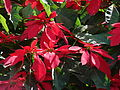 Starr 061201-1749 Euphorbia pulcherrima.jpg