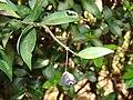 Starr 070525-7186 Myrtus communis.jpg