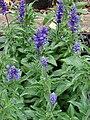 Starr 070906-8640 Salvia farinacea.jpg