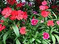 Starr 070906-8661 Dianthus barbatus.jpg