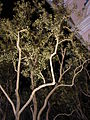 Starr 071225-0754 Olea europaea subsp. europaea.jpg