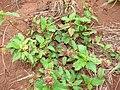 Starr 081230-0596 Malvastrum coromandelianum subsp. coromandelianum.jpg