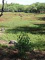 Starr 090121-0983 Dodonaea viscosa.jpg