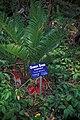 Starr 980529-4359 Cycas circinalis.jpg