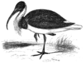 Straw-necked ibis.png
