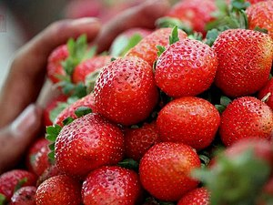 Mahabaleshwar strawberry - Mahabaleshwar strawberries