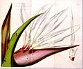 Strelitzia alba01a.jpg