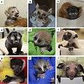 Strepsirrhine infants at Duke Lemur Center.jpg