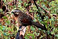 Striped Laughingthrush by Dr. Raju Kasambe DSC 1524 (16).jpg