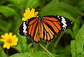 Striped Tiger Danaus genutia by Dr Raju Kaambe DSCN0110 (1).jpg