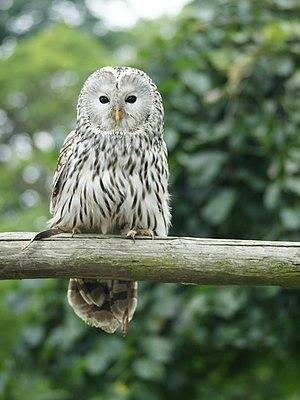 Ural owl - Image: Strix uralensis