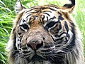 Sumatraanse tijger (3834323825).jpg