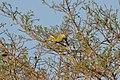 Sumba Green-Pigeon (8074112471).jpg