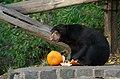 Sun bear treats (30376194320).jpg