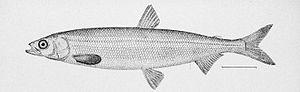 Hypomesus pretiosus - Image: Surf smelt illustration