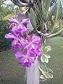Suvarnabhumi Orchids Farm IMG 20160322 075032 (27170353180).jpg