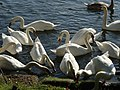 Swans near Penton Hook Lock - geograph.org.uk - 1021743.jpg