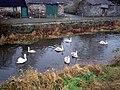 Swans near the Madden Bridge, Tandragee - geograph.org.uk - 664386.jpg