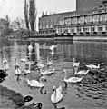 Swans on River Avon, Stratford-on-Avon, Warwickshire, taken 1965 - geograph.org.uk - 743177.jpg