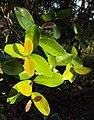 Syzygium caryophyllatum 02.JPG