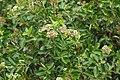 Syzygium caryophyllatum 07851.jpg