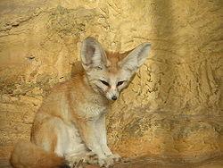 Fennek wikipedia den frie encyklop di - Pagina da colorare fennec fox ...