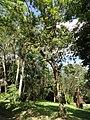 Tabebuia heterophylla - San Juan Botanical Garden - DSC07056.JPG