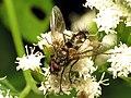 Tachinid Fly (29739646281).jpg