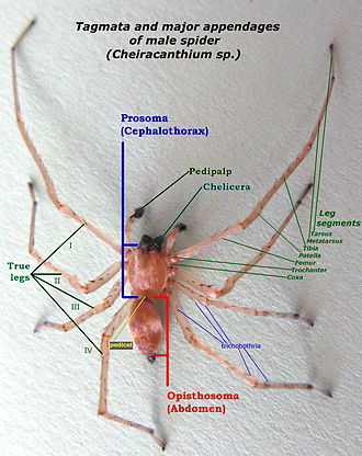 Tagma (biology) - Image: Tagmata and major appendages of spider IMG 7639A