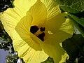 Talipariti tiliaceum (Dominica).jpg
