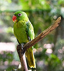 Green parrot with blue back and red beak