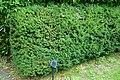 Taxus cuspidata var. nana - Urban Greening Botanical Garden - Kiba Park - Koto, Tokyo, Japan - DSC05308.jpg