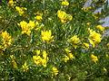 Teline linifolia 2c.JPG