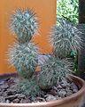 Tephrocactus alexanderi 1e.jpg