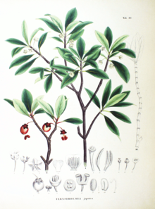 Ternstroemia japonica SZ80.png