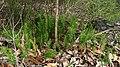 Tetratheca neglecta (6402109589).jpg