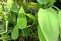 Thalia geniculata 4zz.jpg