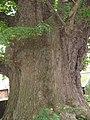 The Eardisley Oak - geograph.org.uk - 1232060.jpg
