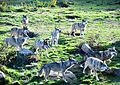 "The European grey wolves during the ""feeding show"" in the Park Wolves of Chabrières.jpg"