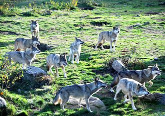 """Monts de Gueret Animal Park - European grey wolves during the """"feeding show"""" in the park"""