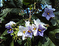 The Giant Star Potato Tree - Solanum Macranthum 01.jpg