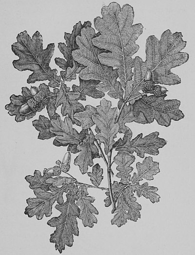 The Oak (Marshall Ward) Fig 1.jpg