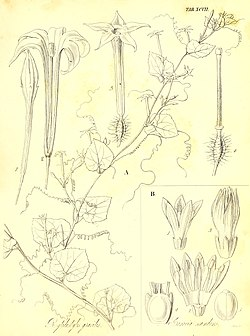 The botany of Captain Beechey's voyage; comprising an acount of the plants collected by Messrs. Lay and Collie, and other officers of the expedition, during the voyage to the Pacific and Behring's (19784882833).jpg