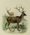 The deer of all lands (1898) Thorold's deer.png