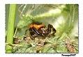 The life in a thistle - La vida en un cardo- monstres 57 (araña cangrejo) (501174360).jpg