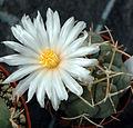 Thelocactus hexaedrophorus flower.jpg