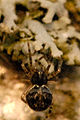 Theridion.mystaceum.-.lindsey.jpg